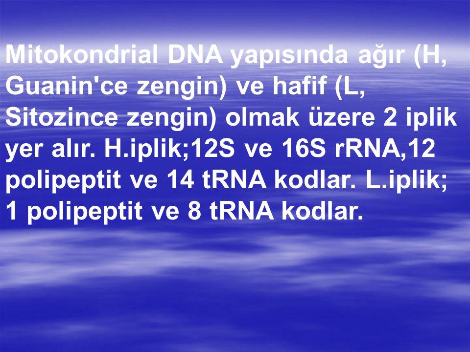 Mitokondrial DNA yapısında ağır (H, Guanin ce zengin) ve hafif (L, Sitozince zengin) olmak üzere 2 iplik yer alır.