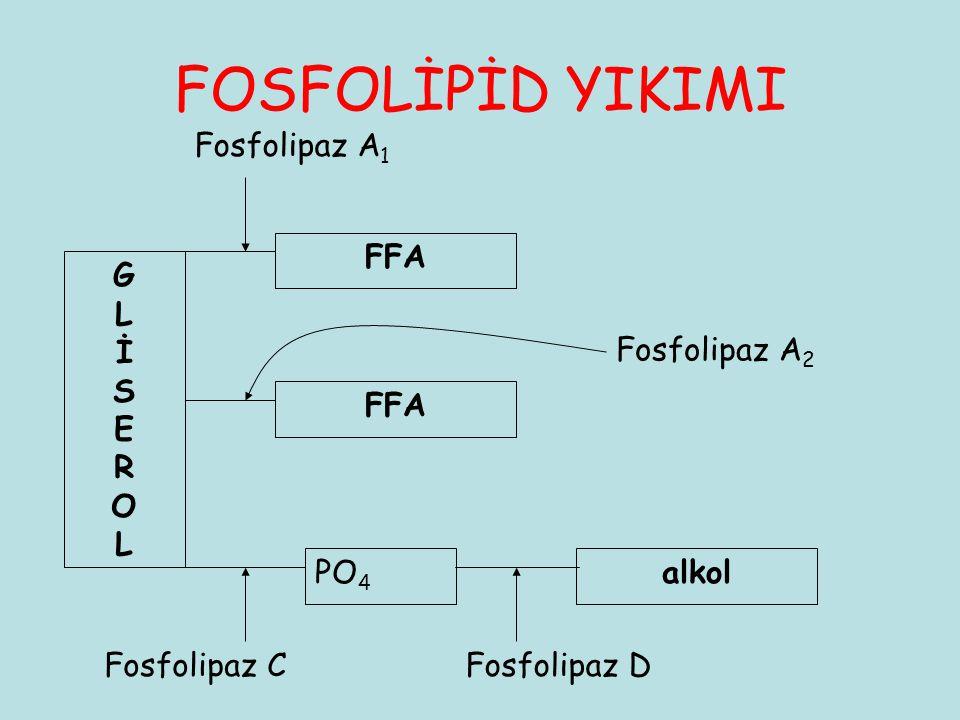 FOSFOLİPİD YIKIMI Fosfolipaz A1 FFA G L İ S E R O Fosfolipaz A2 FFA