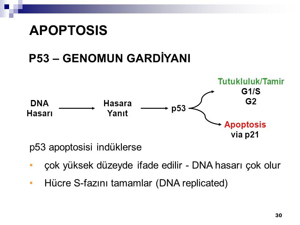 APOPTOSIS P53 – GENOMUN GARDİYANI p53 apoptosisi indüklerse