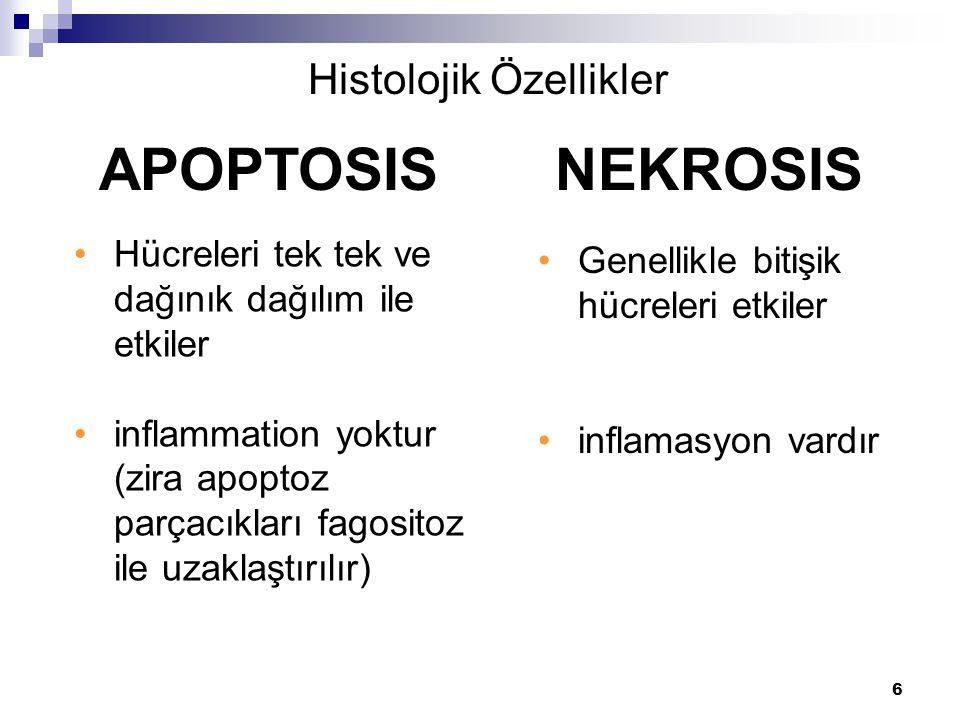 Histolojik Özellikler