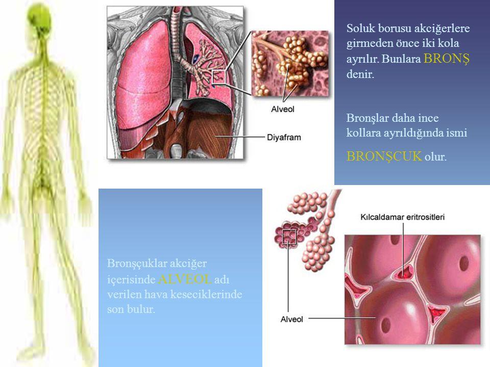Soluk borusu akciğerlere girmeden önce iki kola ayrılır