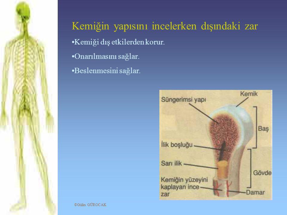 Kemiğin yapısını incelerken dışındaki zar