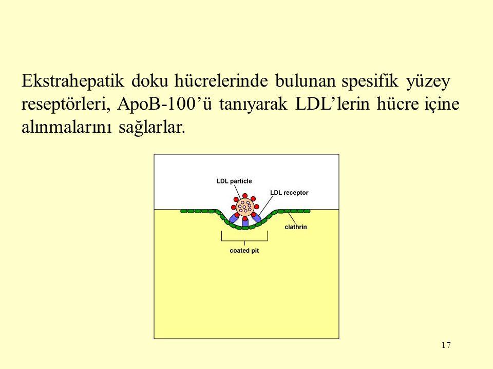 Ekstrahepatik doku hücrelerinde bulunan spesifik yüzey reseptörleri, ApoB-100'ü tanıyarak LDL'lerin hücre içine alınmalarını sağlarlar.
