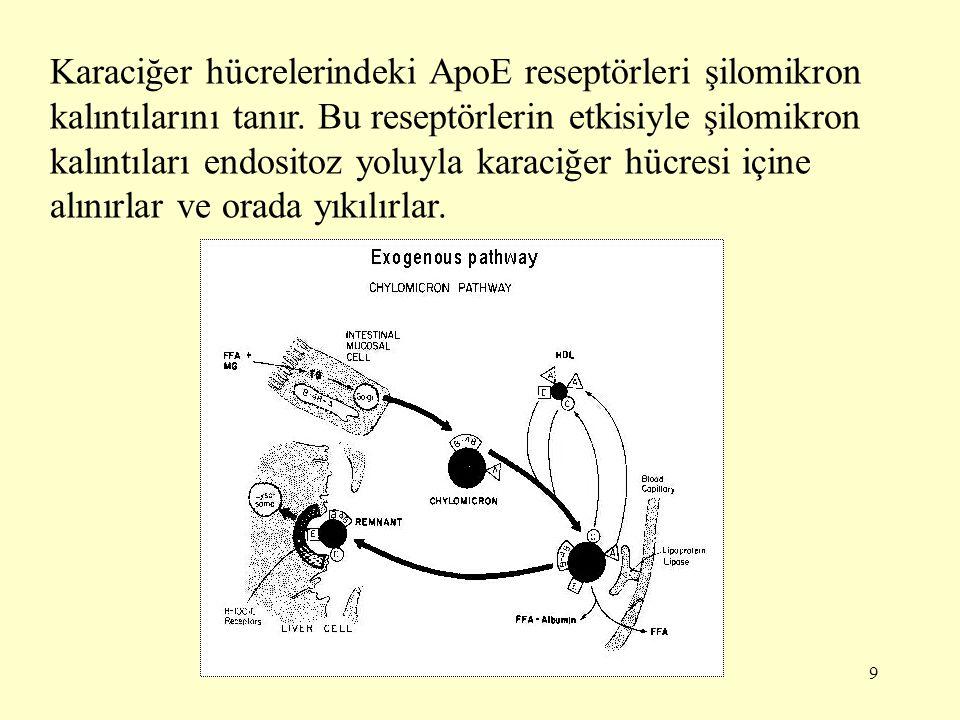 Karaciğer hücrelerindeki ApoE reseptörleri şilomikron kalıntılarını tanır.