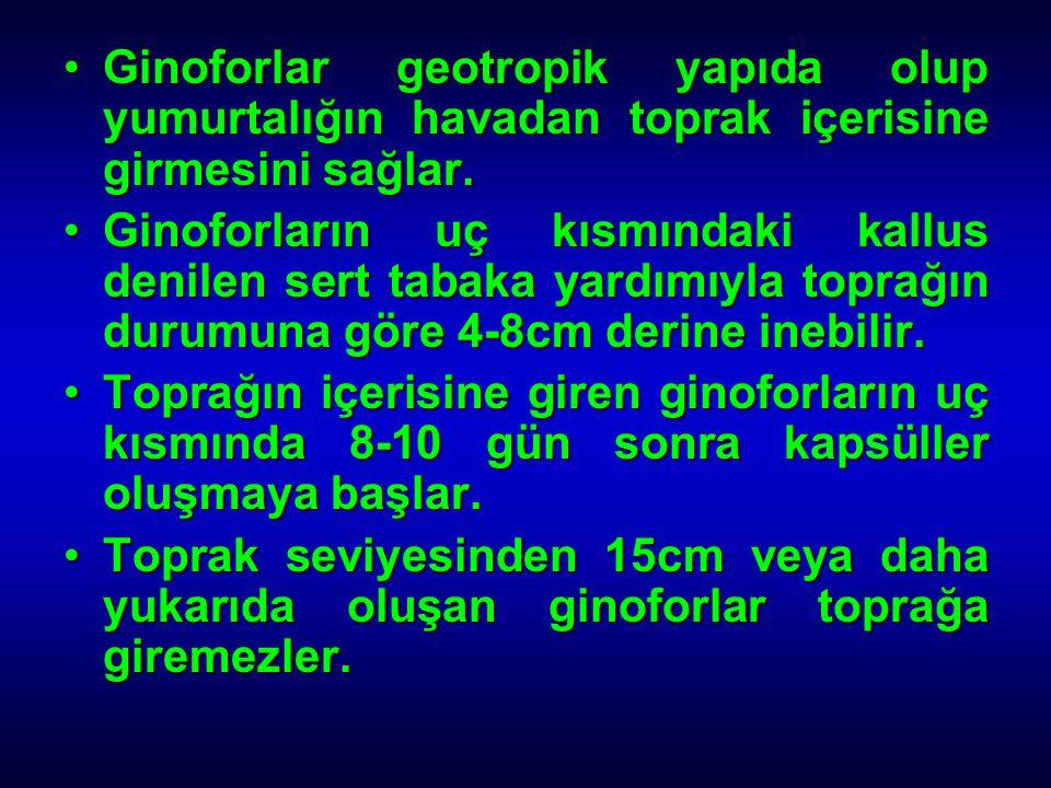 Ginoforlar geotropik yapıda olup yumurtalığın havadan toprak içerisine girmesini sağlar.