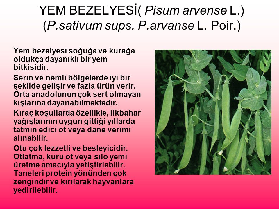 YEM BEZELYESİ( Pisum arvense L.) (P.sativum sups. P.arvanse L. Poir.)