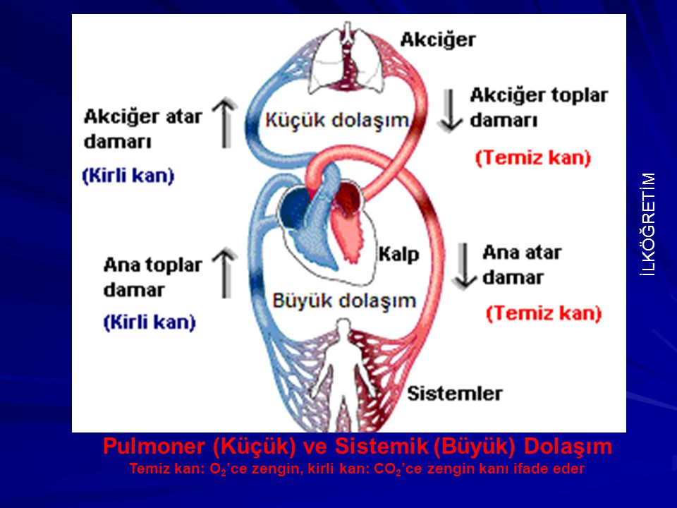 Pulmoner (Küçük) ve Sistemik (Büyük) Dolaşım