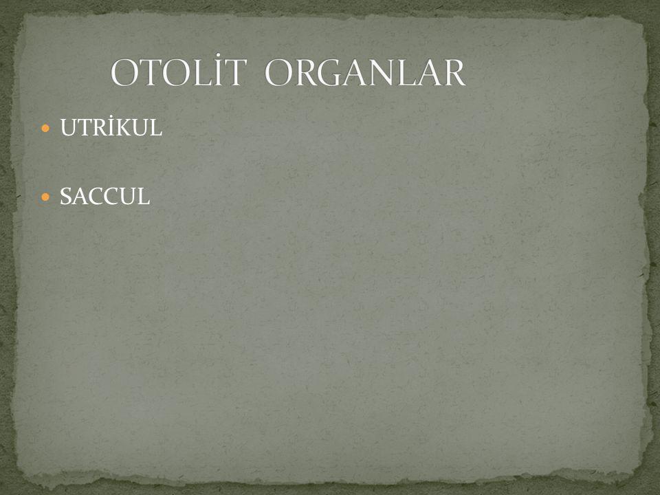 OTOLİT ORGANLAR UTRİKUL SACCUL