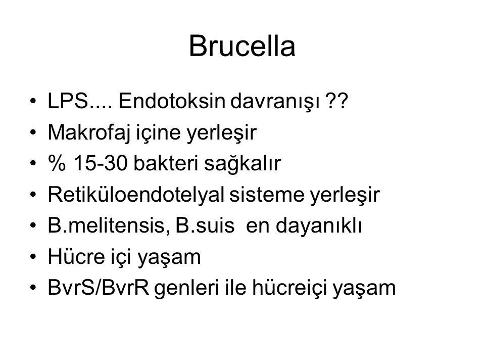 Brucella LPS.... Endotoksin davranışı Makrofaj içine yerleşir