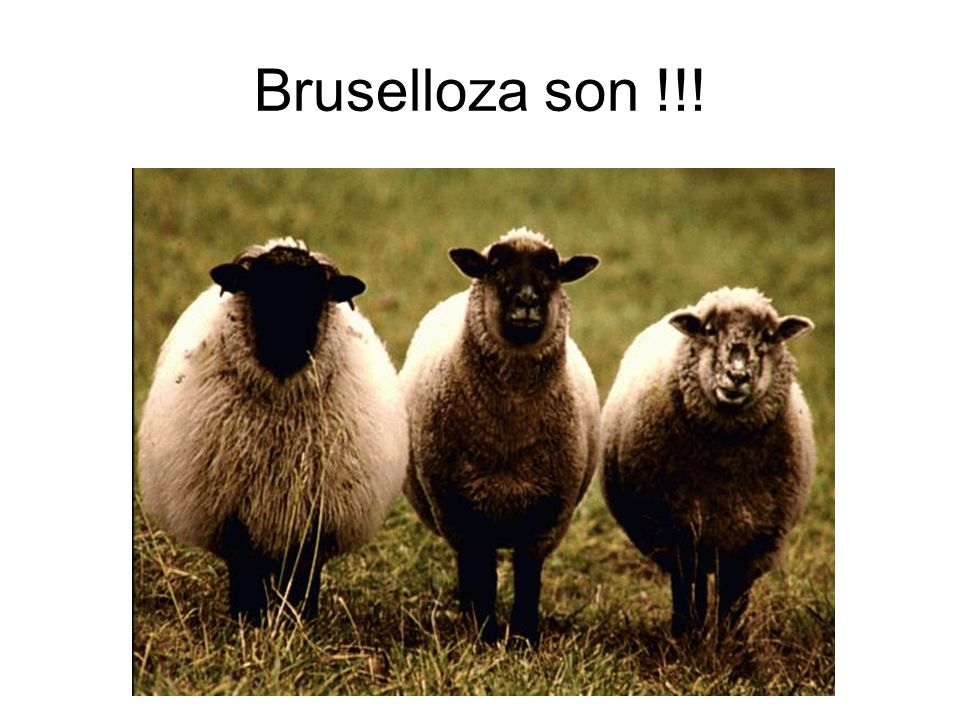 Bruselloza son !!!