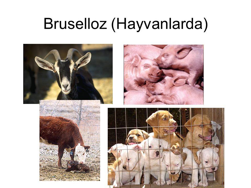 Bruselloz (Hayvanlarda)