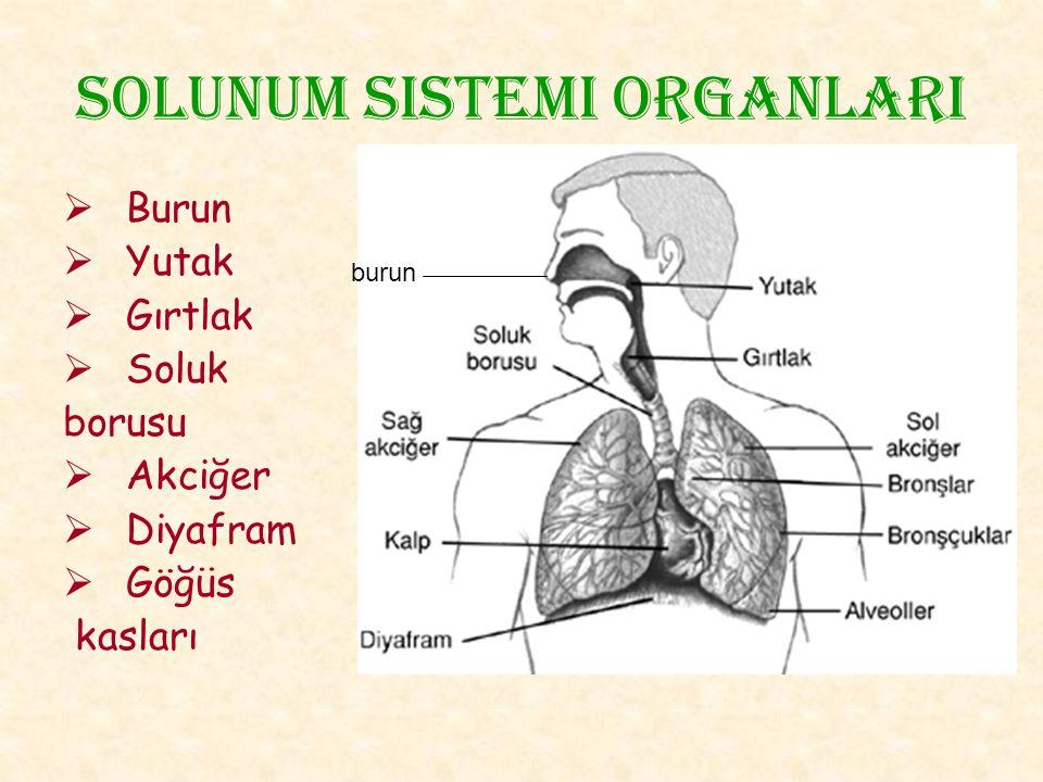 Solunum sistemi organlarI