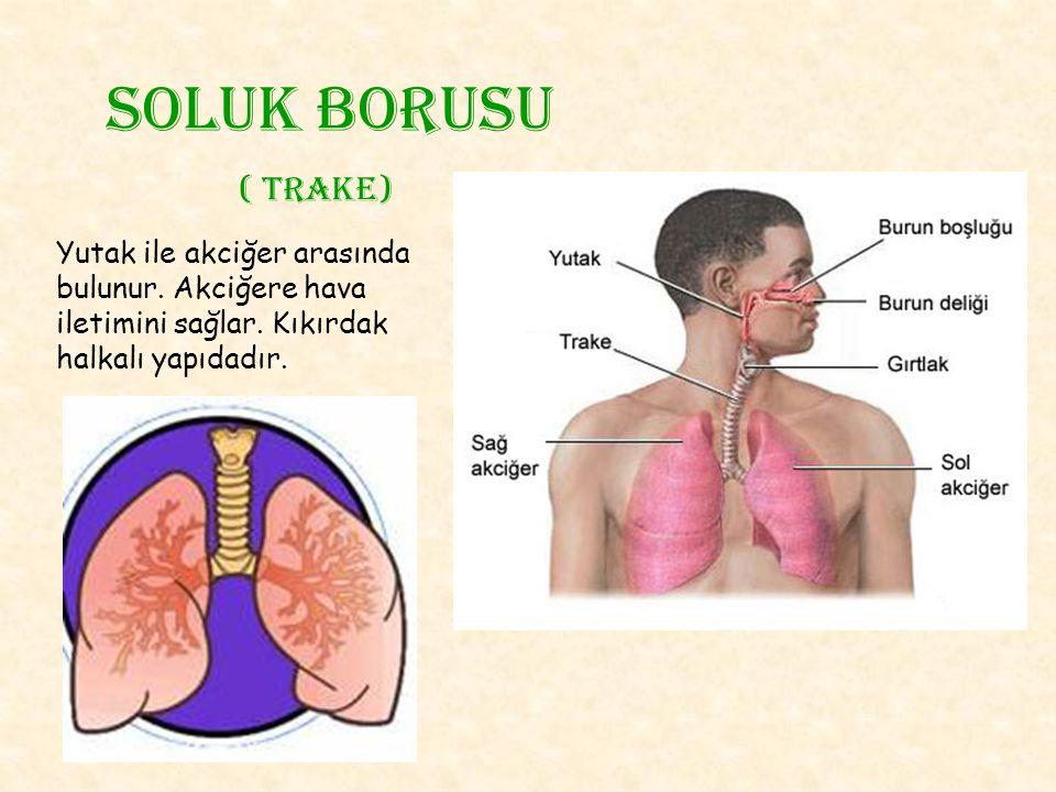 Soluk borusu ( trake) Yutak ile akciğer arasında bulunur.