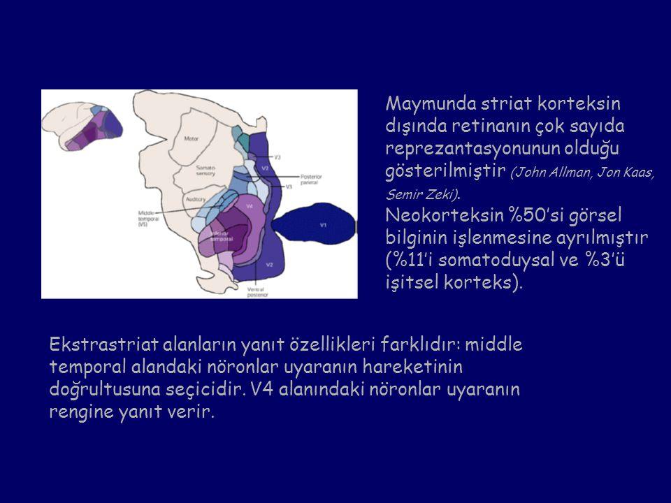 Maymunda striat korteksin dışında retinanın çok sayıda reprezantasyonunun olduğu gösterilmiştir (John Allman, Jon Kaas, Semir Zeki).