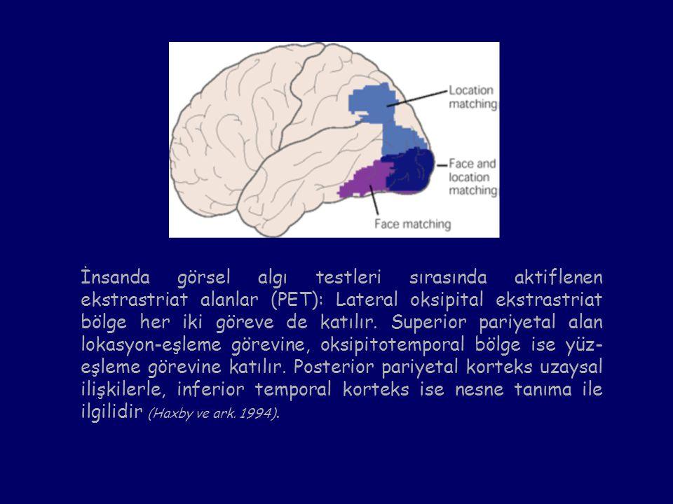 İnsanda görsel algı testleri sırasında aktiflenen ekstrastriat alanlar (PET): Lateral oksipital ekstrastriat bölge her iki göreve de katılır.