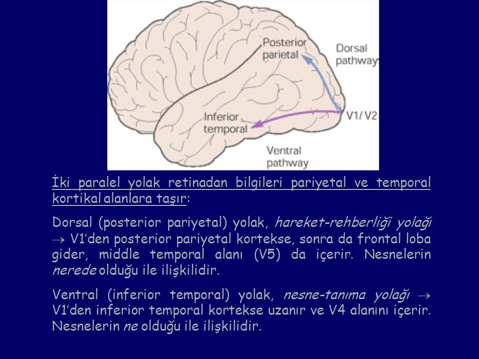 İki paralel yolak retinadan bilgileri pariyetal ve temporal kortikal alanlara taşır: