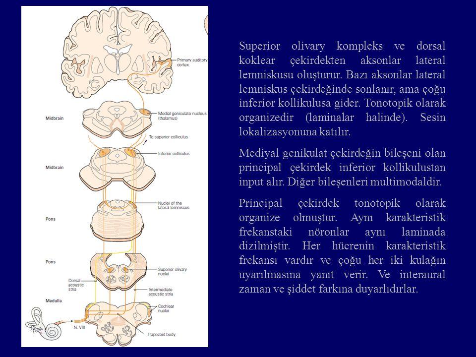 Superior olivary kompleks ve dorsal koklear çekirdekten aksonlar lateral lemniskusu oluşturur. Bazı aksonlar lateral lemniskus çekirdeğinde sonlanır, ama çoğu inferior kollikulusa gider. Tonotopik olarak organizedir (laminalar halinde). Sesin lokalizasyonuna katılır.