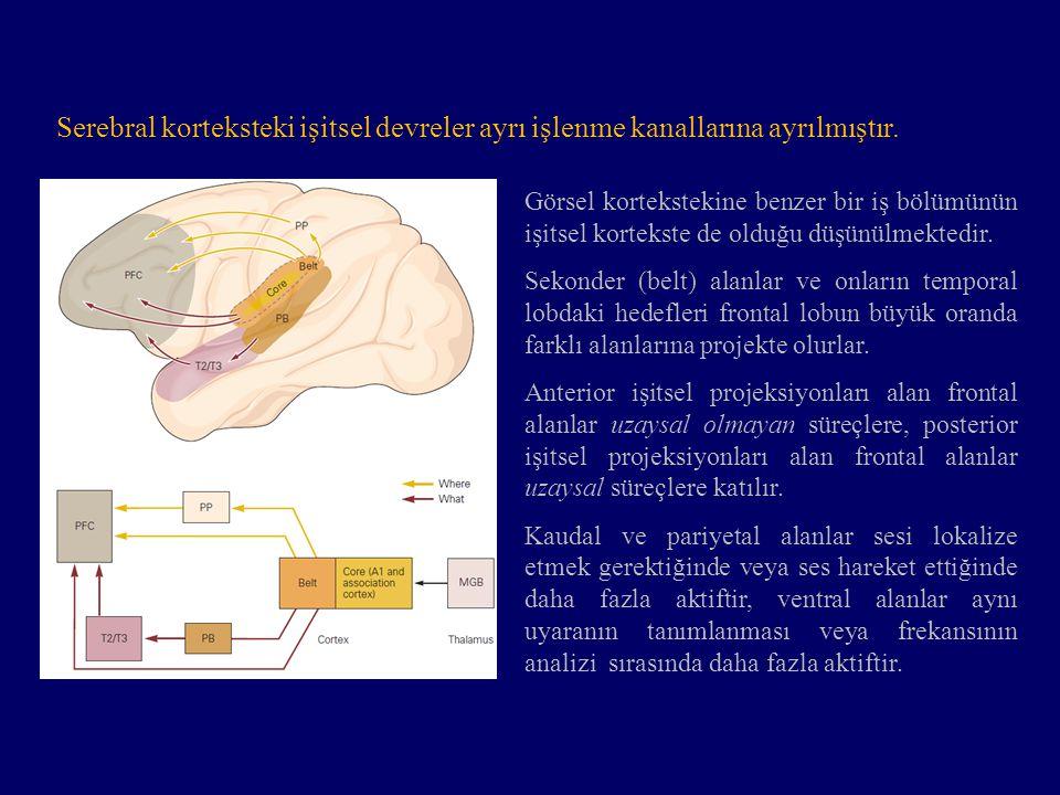 Serebral korteksteki işitsel devreler ayrı işlenme kanallarına ayrılmıştır.