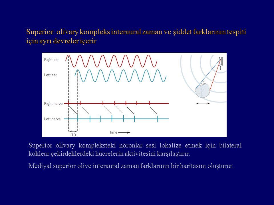Superior olivary kompleks interaural zaman ve şiddet farklarının tespiti için ayrı devreler içerir