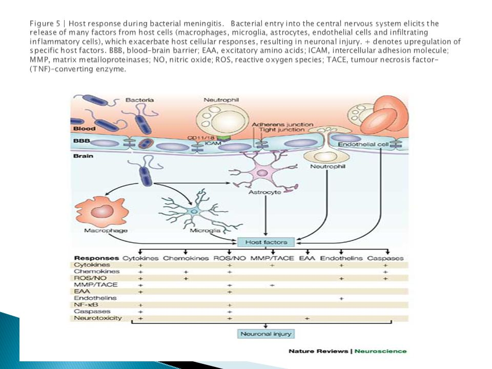 Figure 5 | Host response during bacterial meningitis