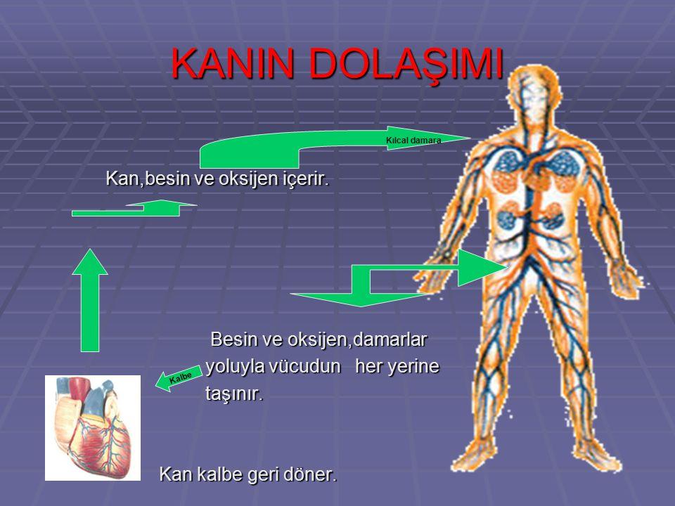 KANIN DOLAŞIMI Kan,besin ve oksijen içerir. Besin ve oksijen,damarlar