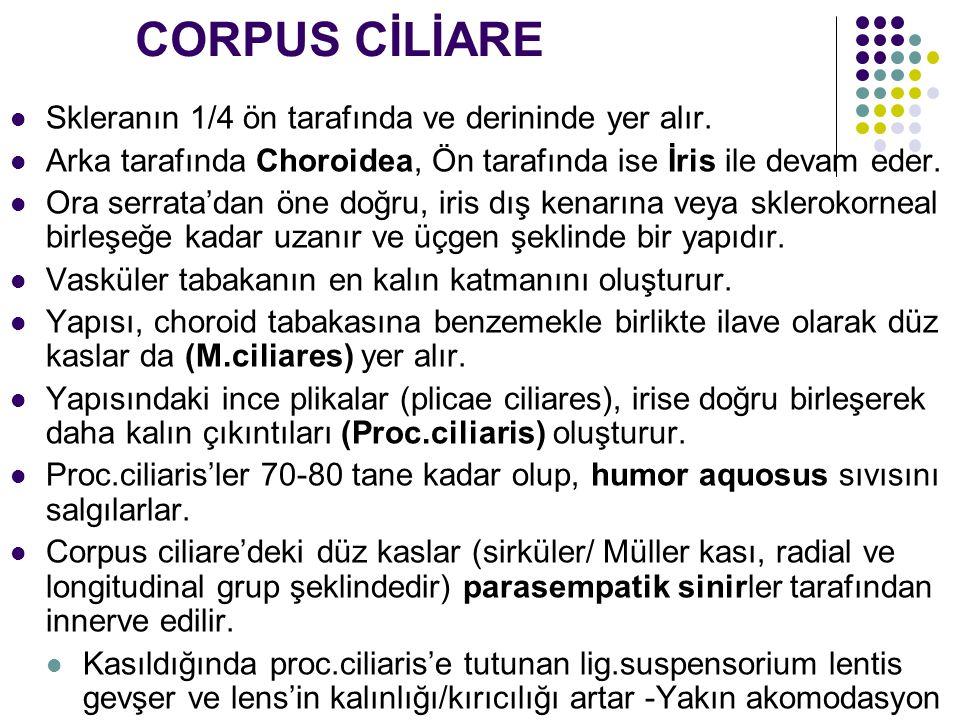 CORPUS CİLİARE Skleranın 1/4 ön tarafında ve derininde yer alır.