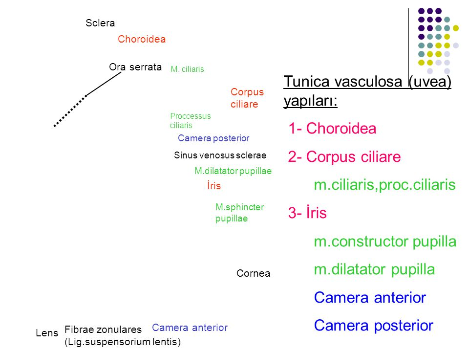 Tunica vasculosa (uvea) yapıları: 1- Choroidea 2- Corpus ciliare