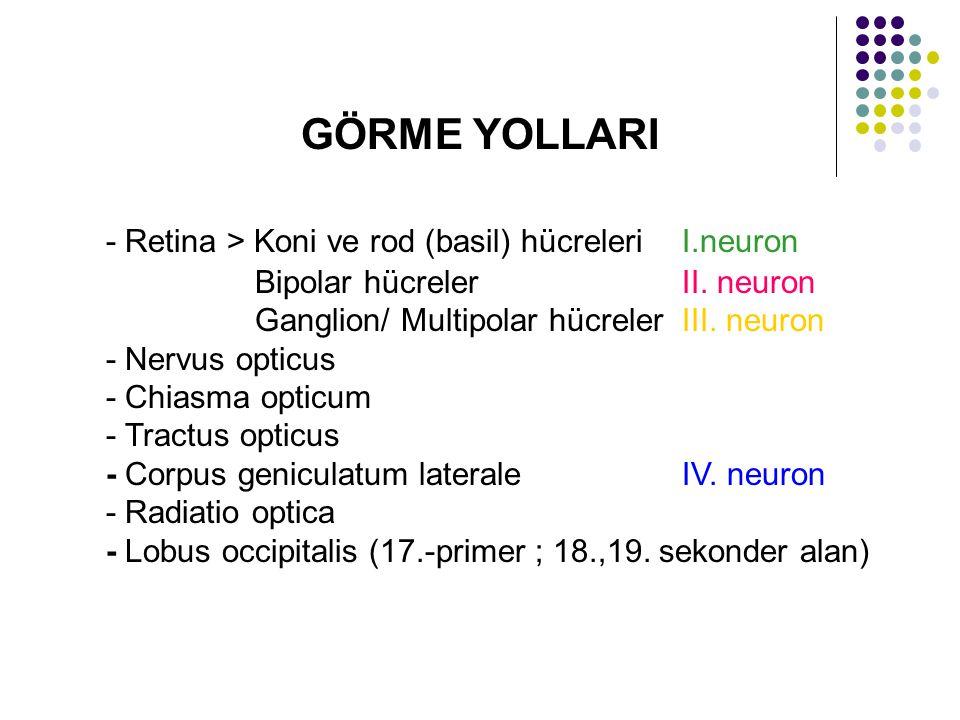 - Retina > Koni ve rod (basil) hücreleri I.neuron