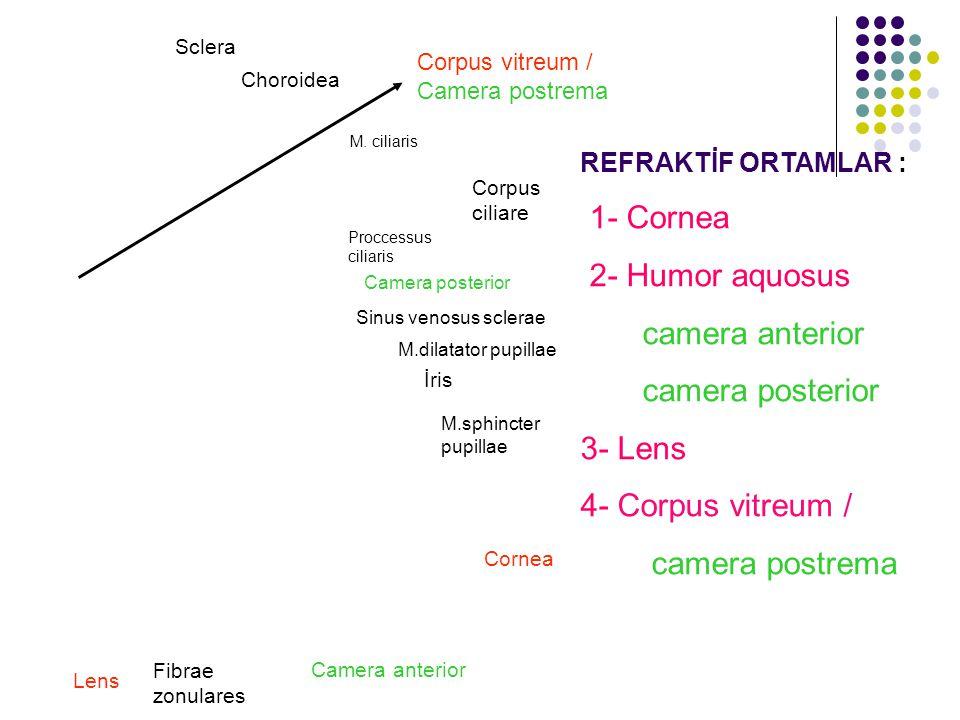 1- Cornea 2- Humor aquosus camera anterior camera posterior 3- Lens