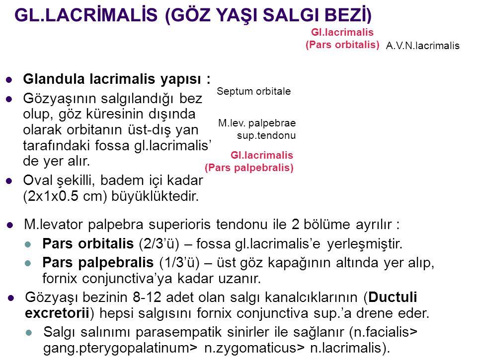 Gl.lacrimalis (Pars orbitalis)