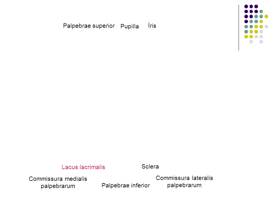 Commissura medialis palpebrarum Commissura lateralis palpebrarum