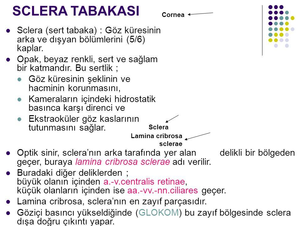 SCLERA TABAKASI Cornea. Sclera (sert tabaka) : Göz küresinin arka ve dışyan bölümlerini (5/6) kaplar.