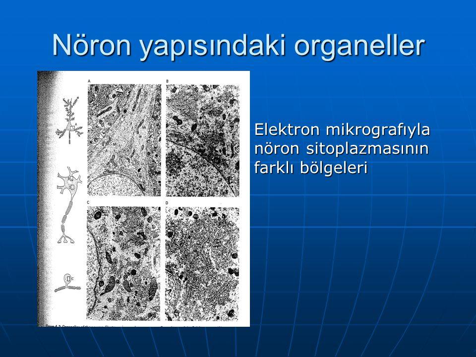 Nöron yapısındaki organeller