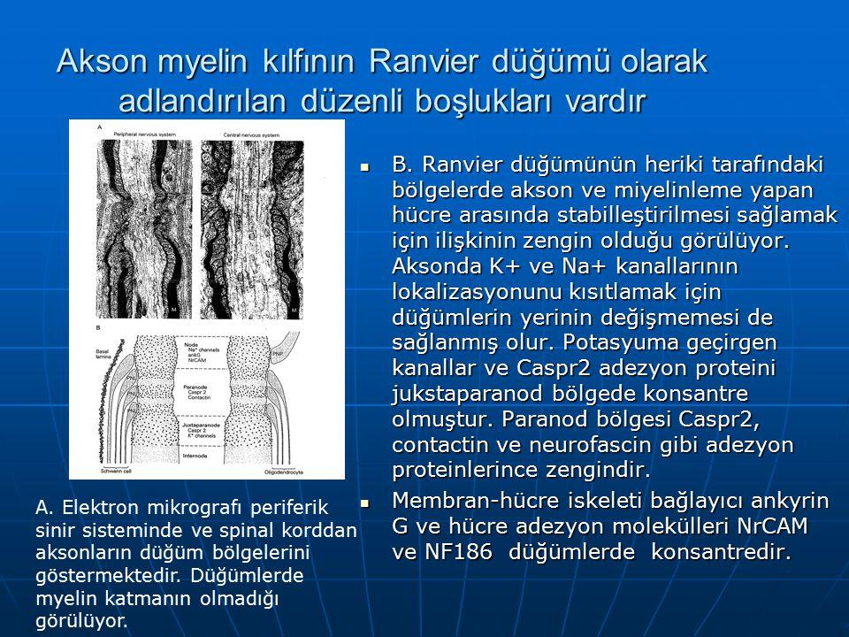 Akson myelin kılfının Ranvier düğümü olarak adlandırılan düzenli boşlukları vardır