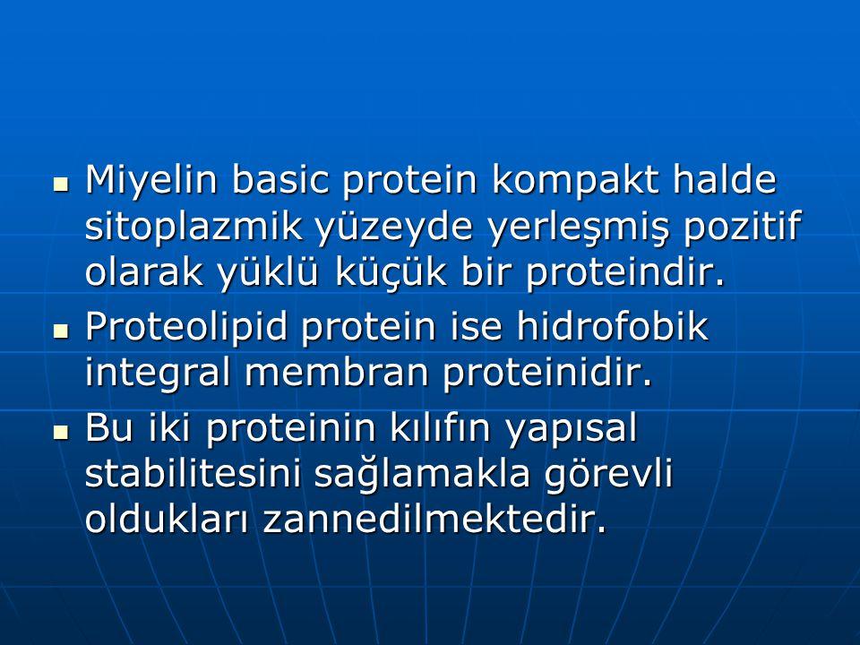 Miyelin basic protein kompakt halde sitoplazmik yüzeyde yerleşmiş pozitif olarak yüklü küçük bir proteindir.
