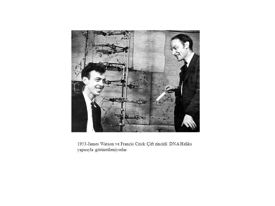 1953-James Watson ve Francis Crick Çift zincirli DNA Heliks yapısıyla görüntüleniyorlar.
