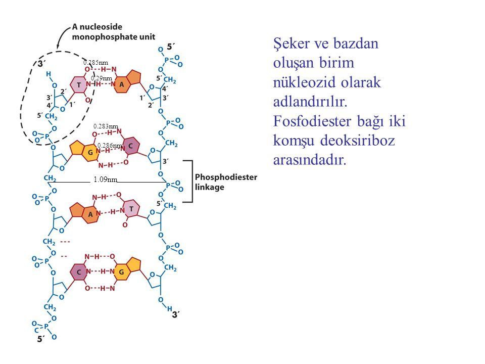 Şeker ve bazdan oluşan birim nükleozid olarak adlandırılır.