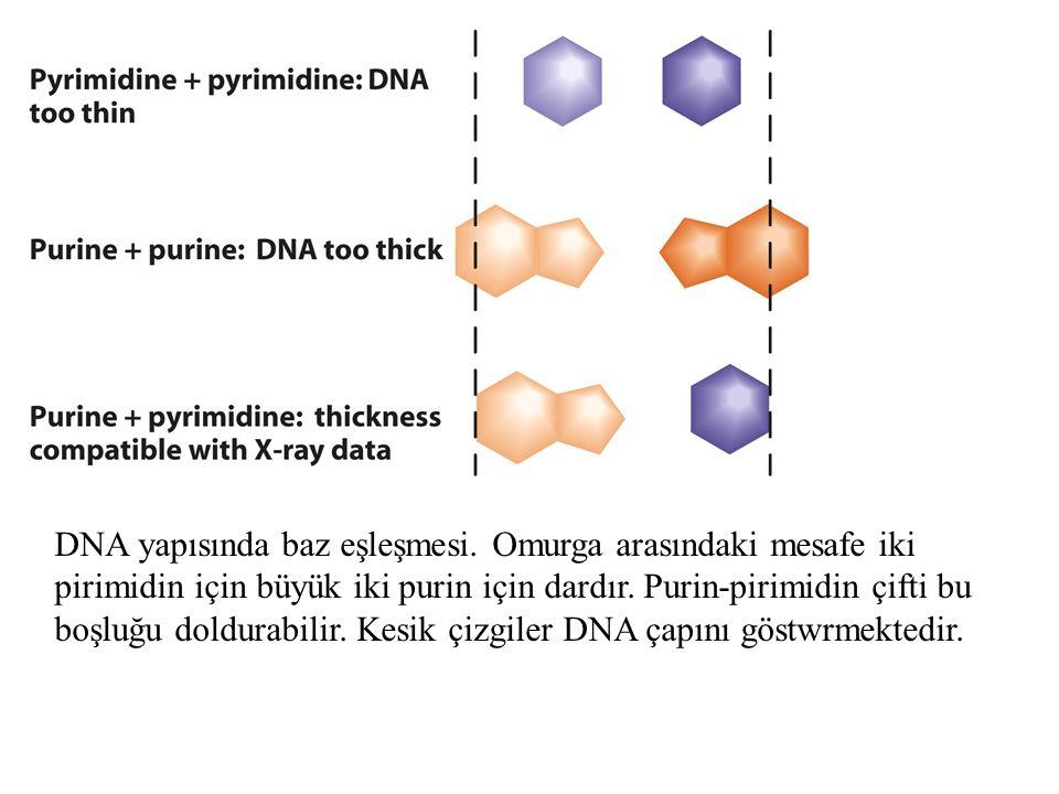 DNA yapısında baz eşleşmesi