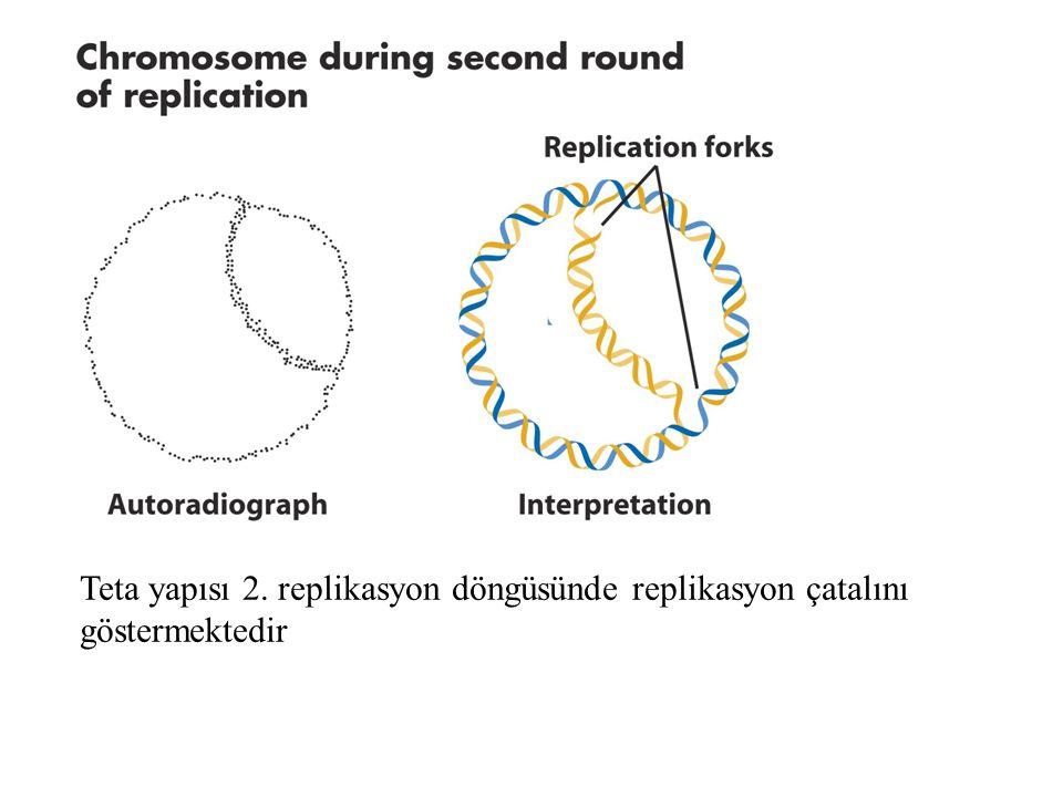 Teta yapısı 2. replikasyon döngüsünde replikasyon çatalını göstermektedir