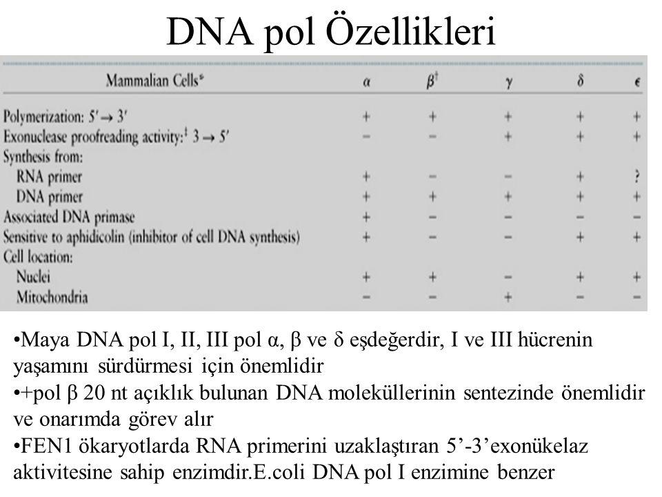 DNA pol Özellikleri Maya DNA pol I, II, III pol α, β ve δ eşdeğerdir, I ve III hücrenin yaşamını sürdürmesi için önemlidir.