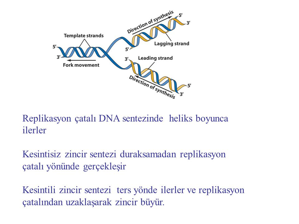 Replikasyon çatalı DNA sentezinde heliks boyunca ilerler