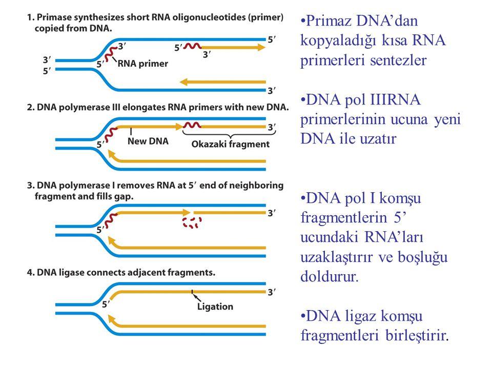 Primaz DNA'dan kopyaladığı kısa RNA primerleri sentezler