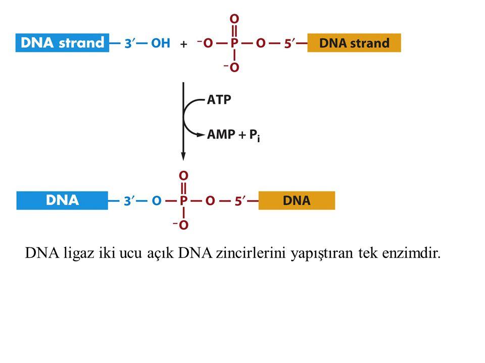 DNA ligaz iki ucu açık DNA zincirlerini yapıştıran tek enzimdir.
