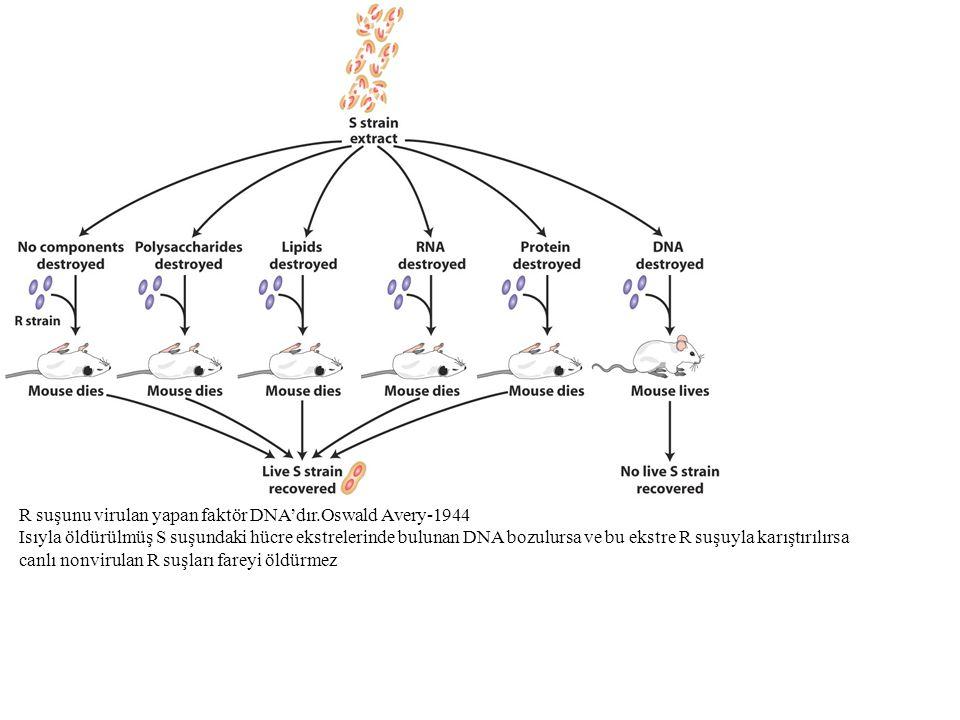 R suşunu virulan yapan faktör DNA'dır.Oswald Avery-1944