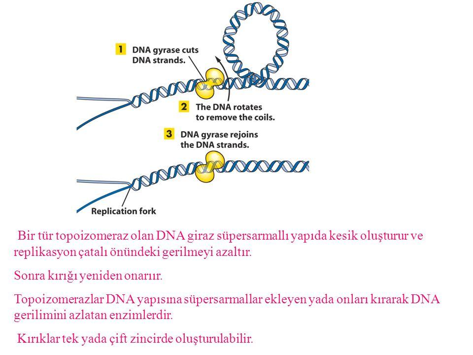 Bir tür topoizomeraz olan DNA giraz süpersarmallı yapıda kesik oluşturur ve replikasyon çatalı önündeki gerilmeyi azaltır.
