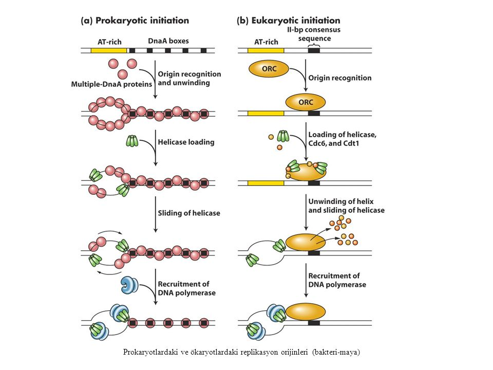 Prokaryotlardaki ve ökaryotlardaki replikasyon orijinleri (bakteri-maya)