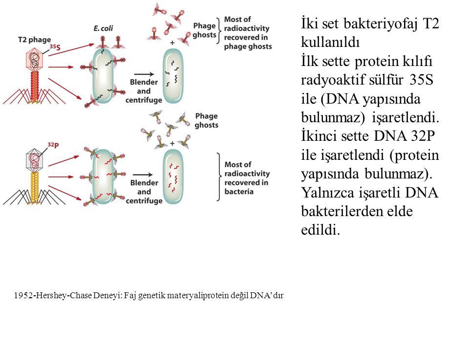 İki set bakteriyofaj T2 kullanıldı