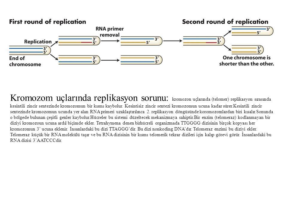 Kromozom uçlarında replikasyon sorunu: kromozon uçlarında (telomer) replikasyon sırasında kesintili zincir sentezinde kromozomun bir kısmı kaybolur.