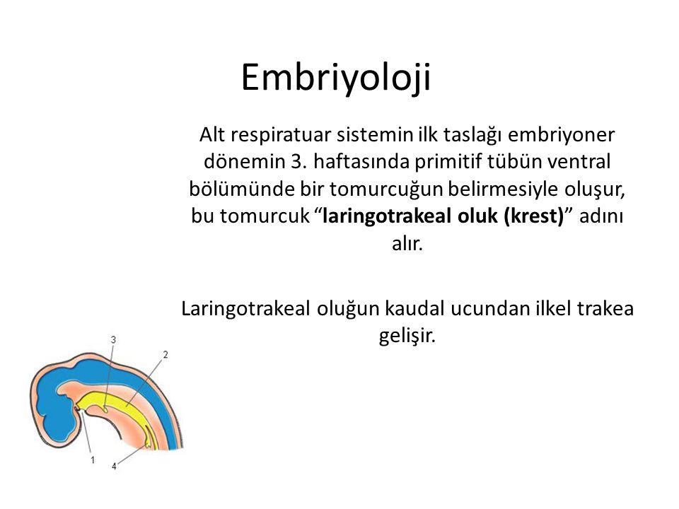 Laringotrakeal oluğun kaudal ucundan ilkel trakea gelişir.