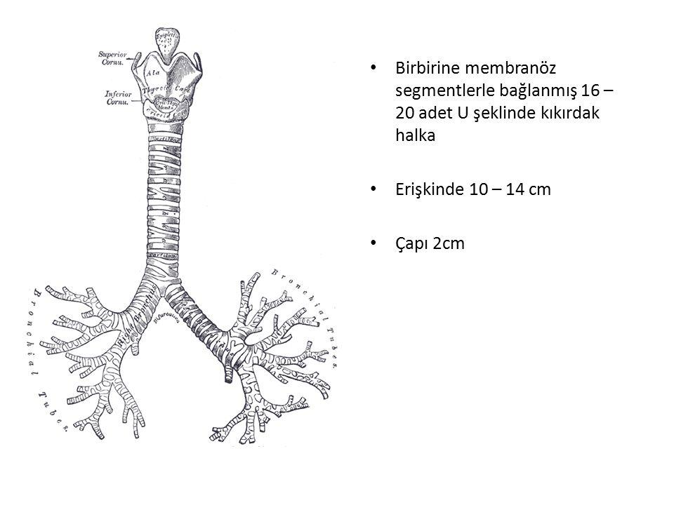 Birbirine membranöz segmentlerle bağlanmış 16 – 20 adet U şeklinde kıkırdak halka